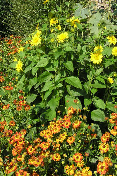 Helianthus Capenoch Star with Helenium Konigstiger � 2010 SpecialPerennials.com All rights reserved