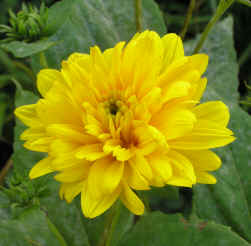 Helianthus Lodden Gold � 2009 SpecialPerennials.com  All rights reserved