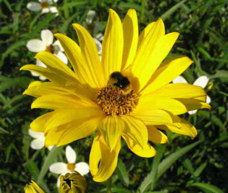 Helianthis Monarch is great for a sunny, well-drained spot and bery attractive to bees