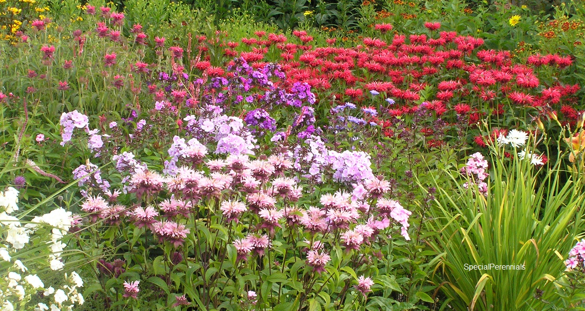 Monarda in our garden in July foreground Beauty of Cobham, back left Vintage Wine, back centre Gardenview Scarlet
