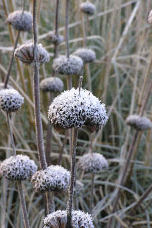 Phlomis russeliana seed heads dusted with frost in winter. � 2006 SpecialPerennials.com All Rights Reserved